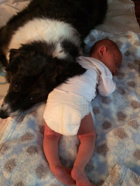 australian shepherd dog and baby