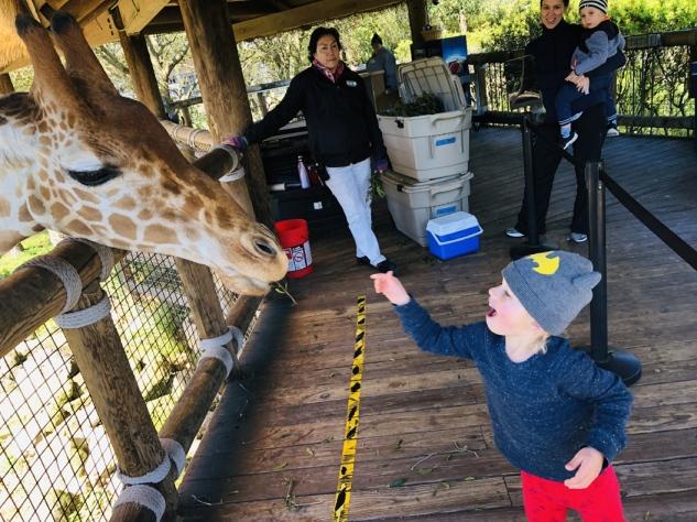 feeding giraffes at the zoo