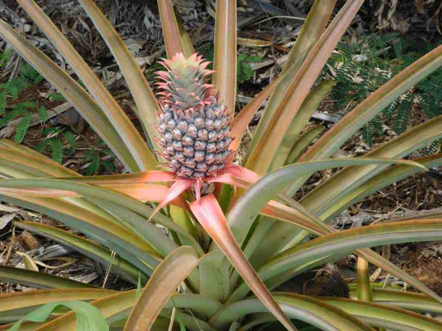pinapple-growing