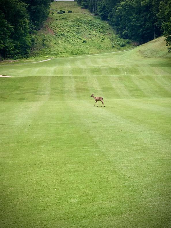 deer on golf course