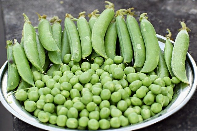 peas grown in garden