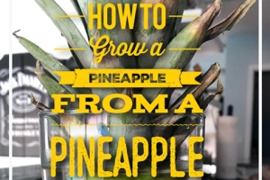how to grow a pineapple from a pineapple
