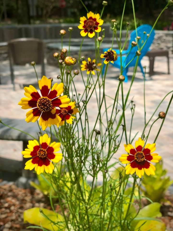golden tickweed wildflowers