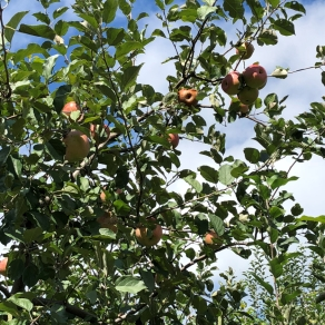 treetop-orchard-apples